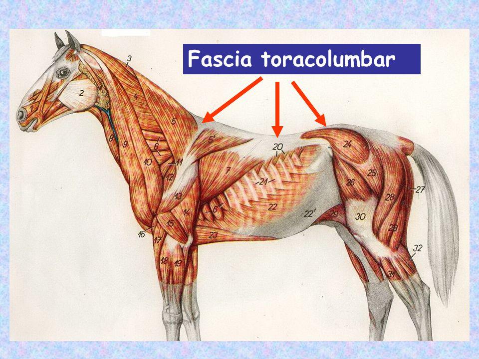 Criterios de sistematización Los músculos epiaxiles pueden dividirse en sistemas teniendo en cuenta: -Su ubicación topográfica (de medial a lateral) - Los orígenes e inseciones musculares - Las celdas musculares que forma la hoja profunda fascia toracolumbar