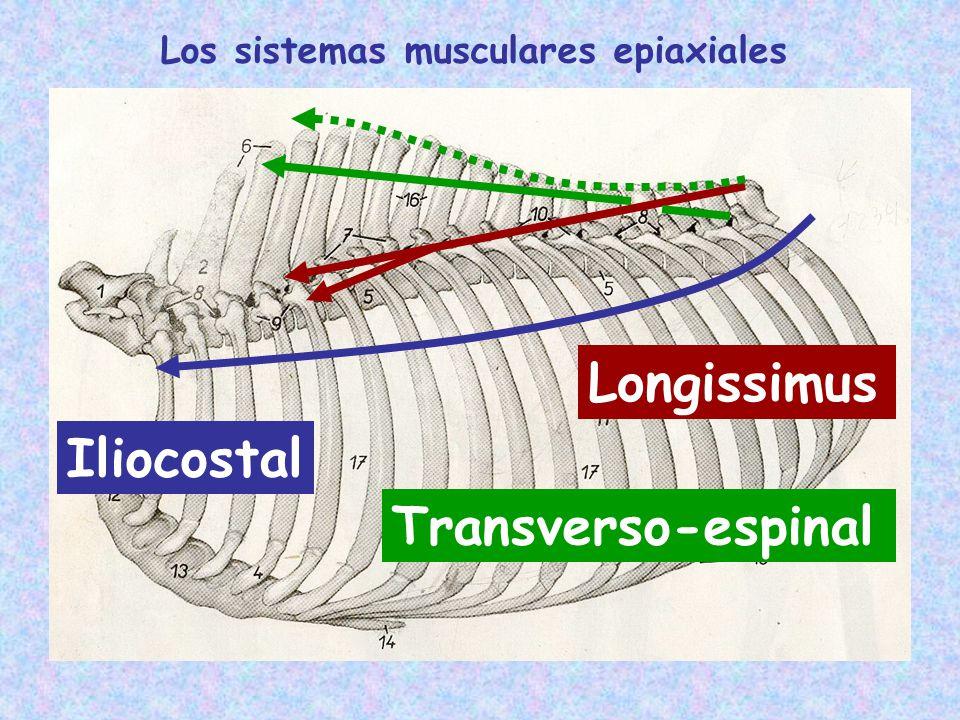 Celda del sistema transverso-espinal Celda del sistema longissimus Celda del sistema iliocostal