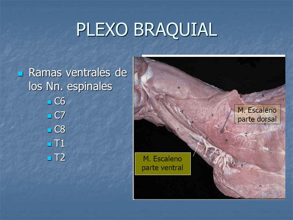 PLEXO BRAQUIAL Ramas ventrales de los Nn. espinales Ramas ventrales de los Nn. espinales C6 C6 C7 C7 C8 C8 T1 T1 T2 T2 M. Escaleno parte dorsal M. Esc