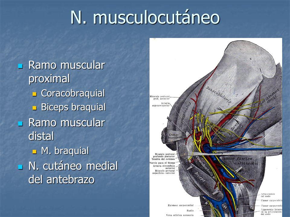 N. musculocutáneo Ramo muscular proximal Ramo muscular proximal Coracobraquial Coracobraquial Biceps braquial Biceps braquial Ramo muscular distal Ram