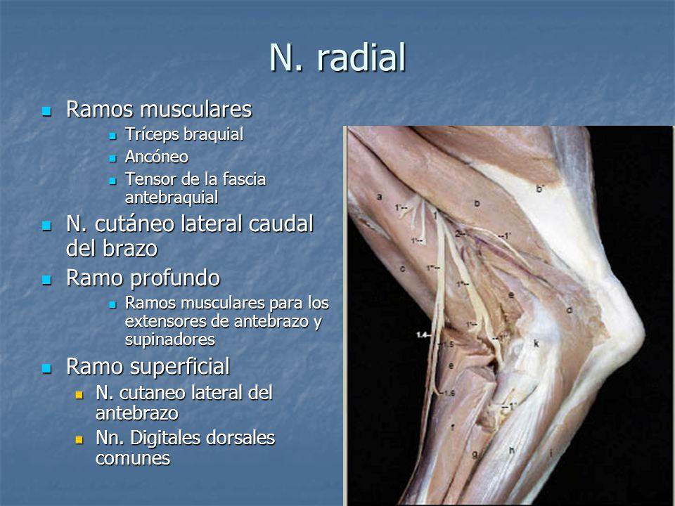 N. radial Ramos musculares Ramos musculares Tríceps braquial Tríceps braquial Ancóneo Ancóneo Tensor de la fascia antebraquial Tensor de la fascia ant