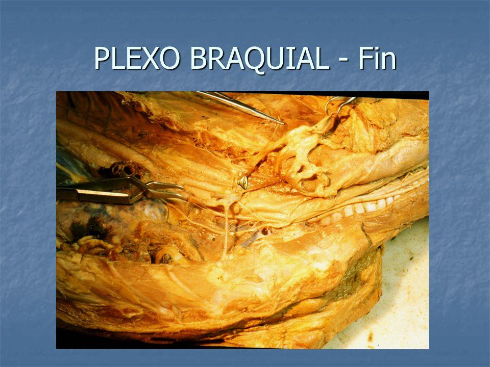 PLEXO BRAQUIAL - Fin