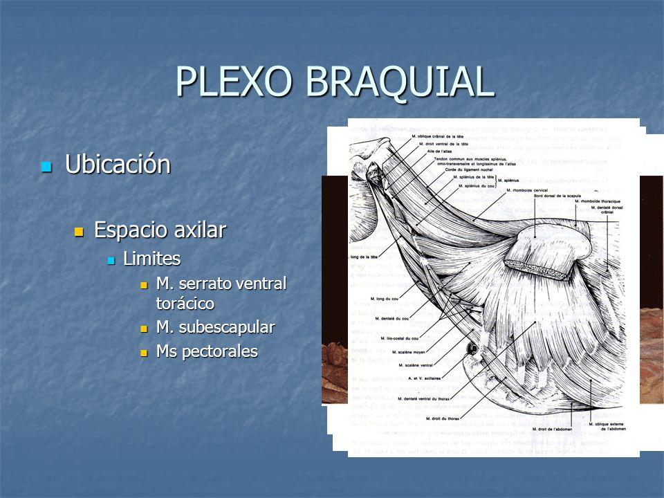 PLEXO BRAQUIAL Ubicación Ubicación Espacio axilar Espacio axilar Limites Limites M. serrato ventral torácico M. serrato ventral torácico M. subescapul