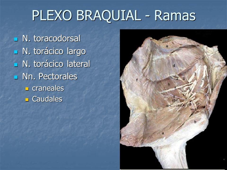 PLEXO BRAQUIAL - Ramas N. toracodorsal N. toracodorsal N. torácico largo N. torácico largo N. torácico lateral N. torácico lateral Nn. Pectorales Nn.