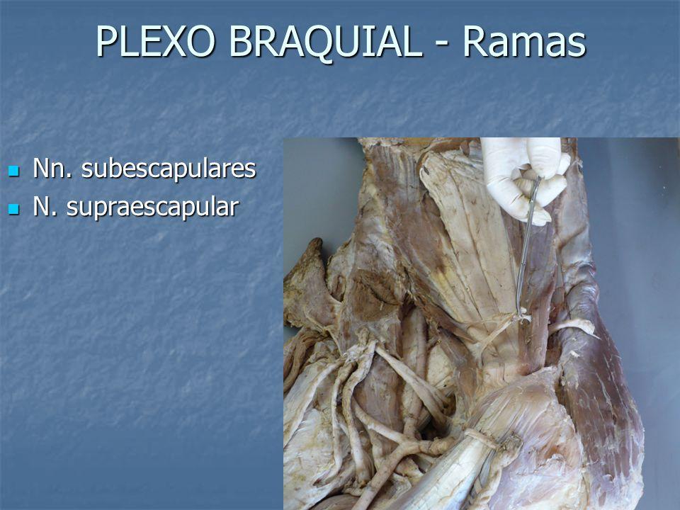 PLEXO BRAQUIAL - Ramas Nn. subescapulares Nn. subescapulares N. supraescapular N. supraescapular