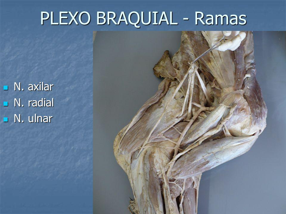 PLEXO BRAQUIAL - Ramas N. axilar N. axilar N. radial N. radial N. ulnar N. ulnar