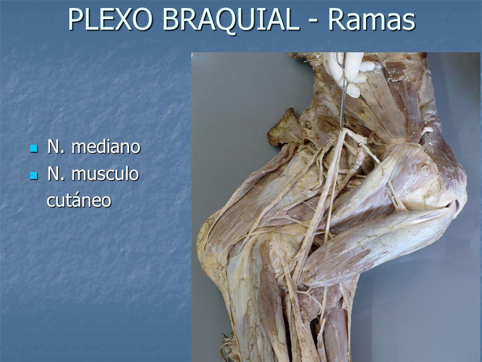 PLEXO BRAQUIAL - Ramas N. mediano N. mediano N. musculo N. musculo cutáneo cutáneo