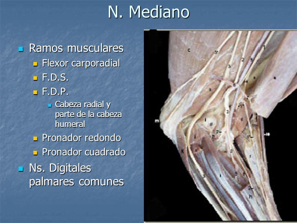 N. Mediano Ramos musculares Ramos musculares Flexor carporadial Flexor carporadial F.D.S. F.D.S. F.D.P. F.D.P. Cabeza radial y parte de la cabeza hume