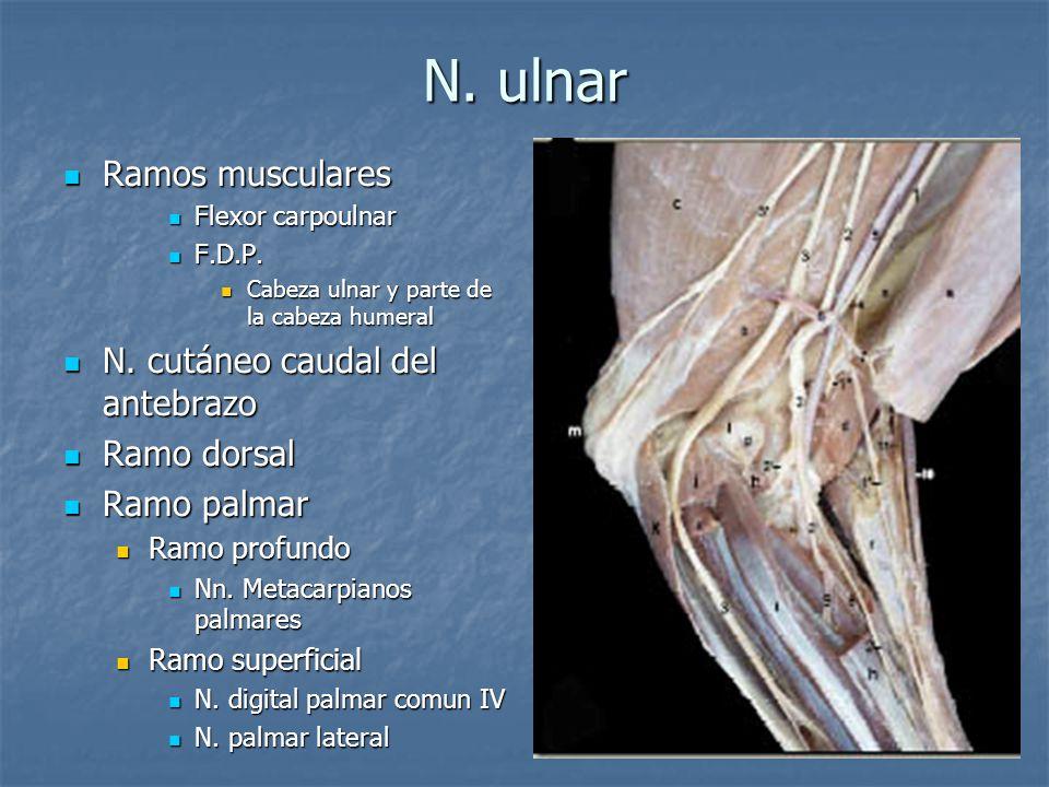 N. ulnar Ramos musculares Ramos musculares Flexor carpoulnar Flexor carpoulnar F.D.P. F.D.P. Cabeza ulnar y parte de la cabeza humeral Cabeza ulnar y