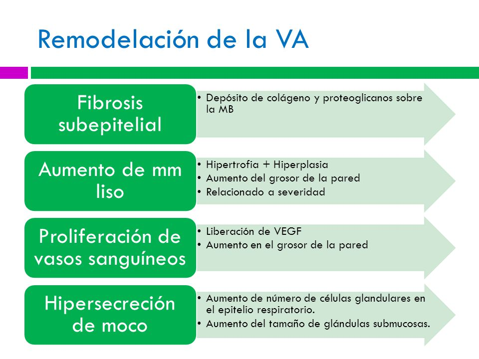 Remodelación de la VA Depósito de colágeno y proteoglicanos sobre la MB Fibrosis subepitelial Hipertrofia + Hiperplasia Aumento del grosor de la pared Relacionado a severidad Aumento de mm liso Liberación de VEGF Aumento en el grosor de la pared Proliferación de vasos sanguíneos Aumento de número de células glandulares en el epitelio respiratorio.