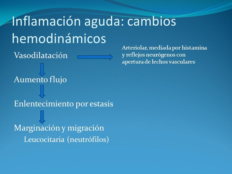 Inflamación aguda: cambios hemodinámicos Vasodilatación Aumento flujo Enlentecimiento por estasis Marginación y migración Leucocitaria (neutrófilos) Arteriolar, mediada por histamina y reflejos neurógenos con apertura de lechos vasculares