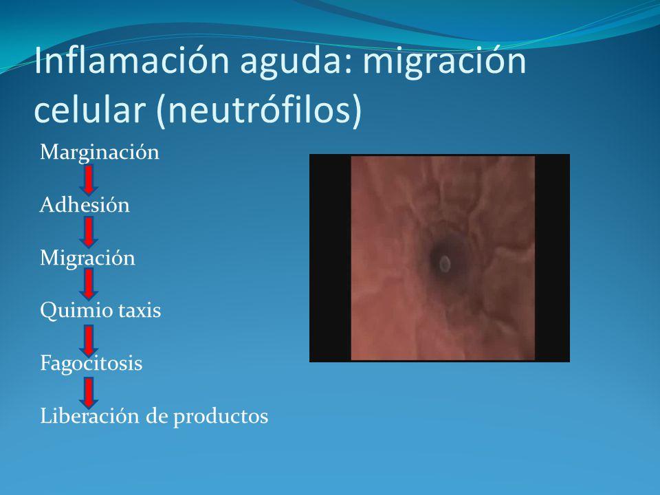 Inflamación aguda: migración celular (neutrófilos) Marginación Adhesión Migración Quimio taxis Fagocitosis Liberación de productos