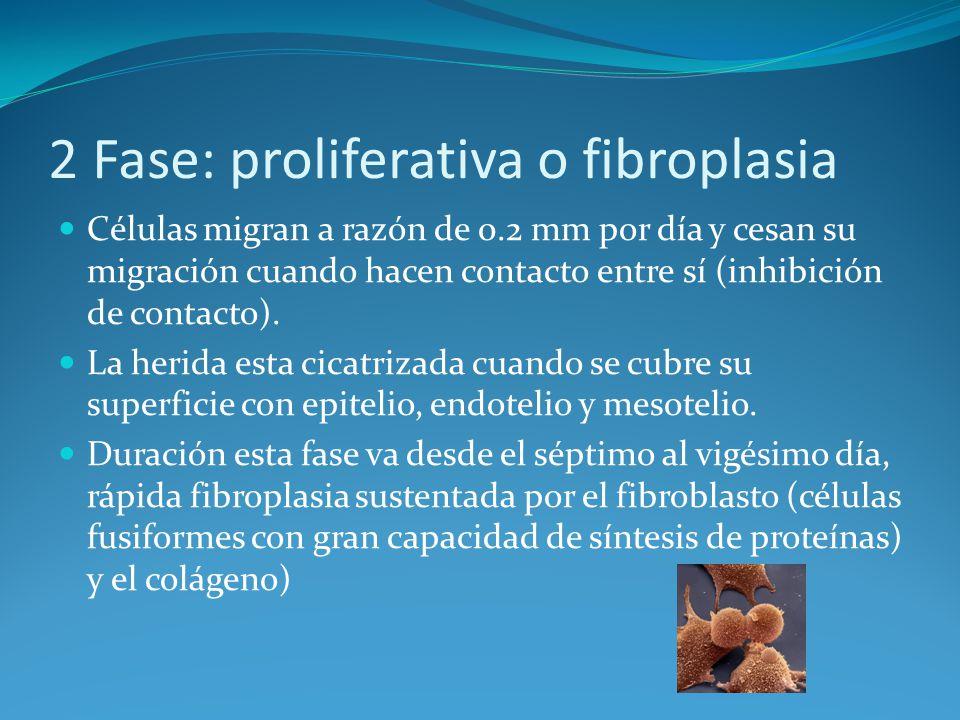 2 Fase: proliferativa o fibroplasia Células migran a razón de 0.2 mm por día y cesan su migración cuando hacen contacto entre sí (inhibición de contacto).