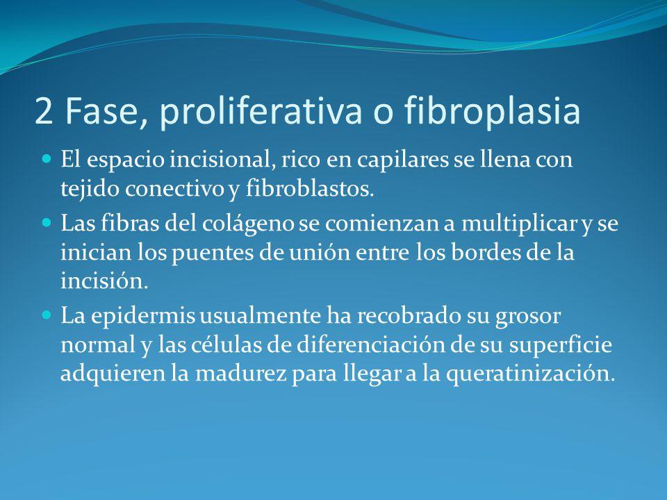 2 Fase, proliferativa o fibroplasia El espacio incisional, rico en capilares se llena con tejido conectivo y fibroblastos.