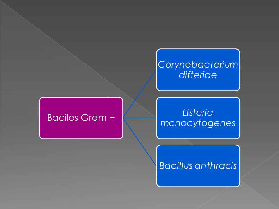 Bacilos Gram + Corynebacterium difteriae Listeria monocytogenes Bacillus anthracis