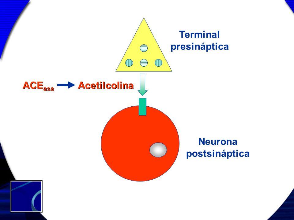 Terminal presináptica Neurona postsináptica Acetilcolina ACE asa
