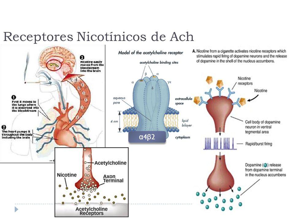 Receptores Nicotínicos de Ach α4β2α4β2 α4β2α4β2