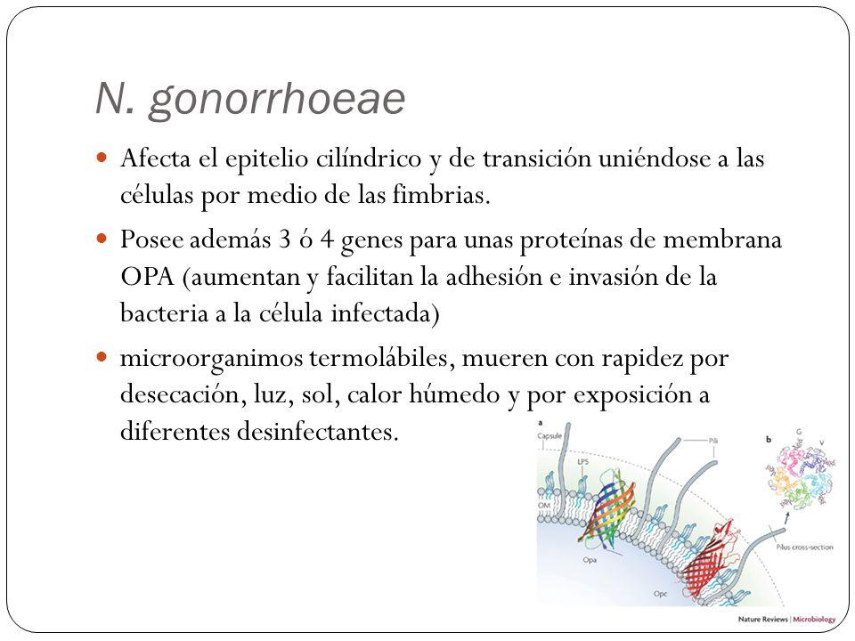 N. gonorrhoeae Afecta el epitelio cilíndrico y de transición uniéndose a las células por medio de las fimbrias. Posee además 3 ó 4 genes para unas pro