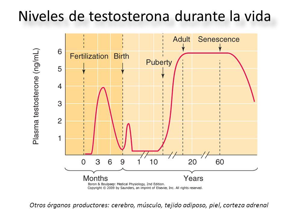 Niveles de testosterona durante la vida Otros órganos productores: cerebro, músculo, tejido adiposo, piel, corteza adrenal