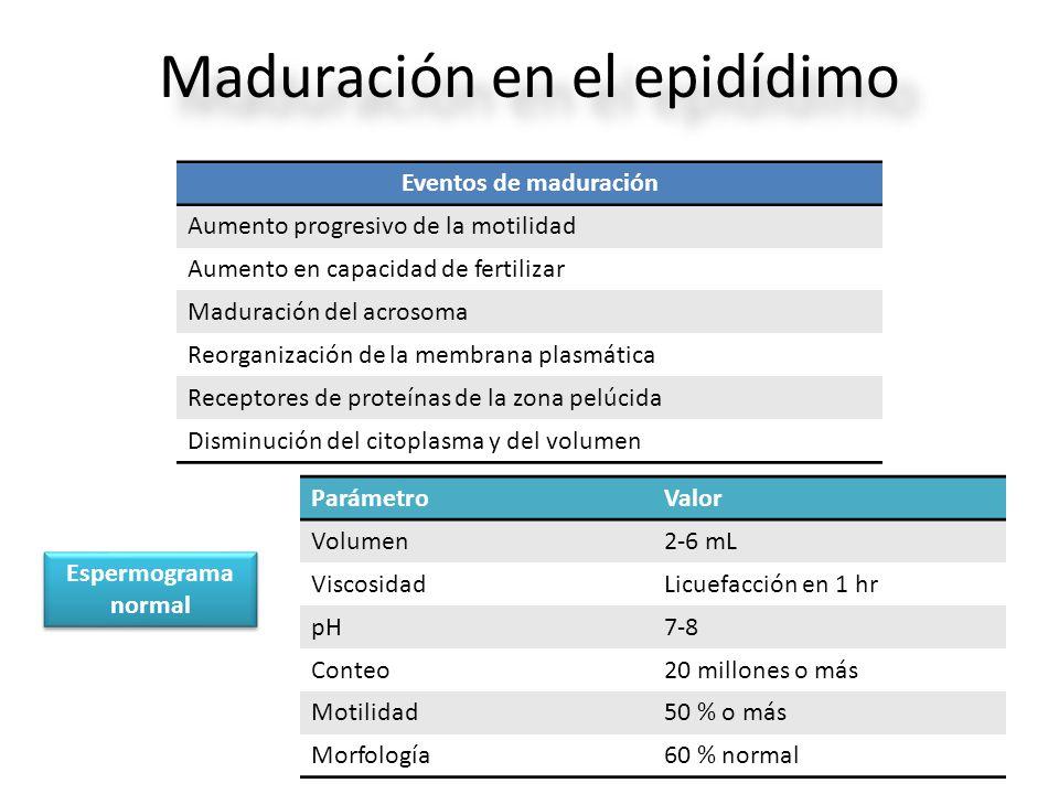 Maduración en el epidídimo Eventos de maduración Aumento progresivo de la motilidad Aumento en capacidad de fertilizar Maduración del acrosoma Reorganización de la membrana plasmática Receptores de proteínas de la zona pelúcida Disminución del citoplasma y del volumen ParámetroValor Volumen2-6 mL ViscosidadLicuefacción en 1 hr pH7-8 Conteo20 millones o más Motilidad50 % o más Morfología60 % normal Espermograma normal