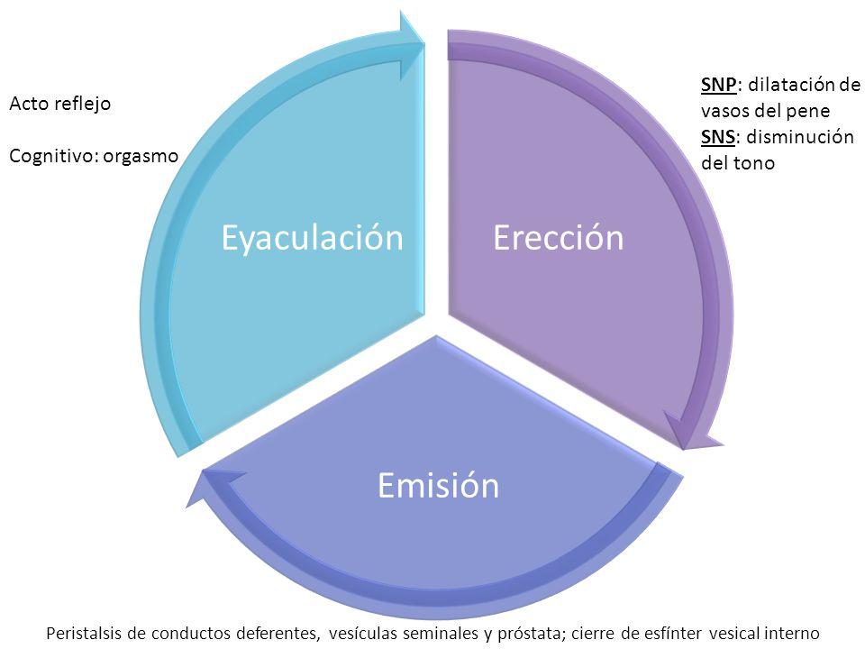 Erección Emisión Eyaculación SNP: dilatación de vasos del pene SNS: disminución del tono Peristalsis de conductos deferentes, vesículas seminales y próstata; cierre de esfínter vesical interno Acto reflejo Cognitivo: orgasmo