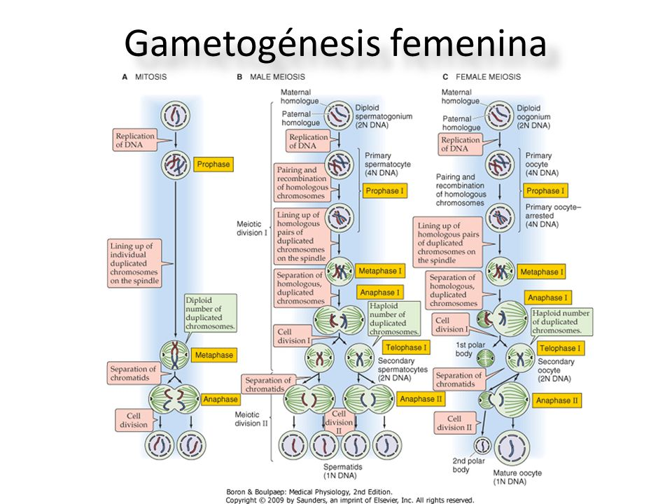 Gametogénesis femenina