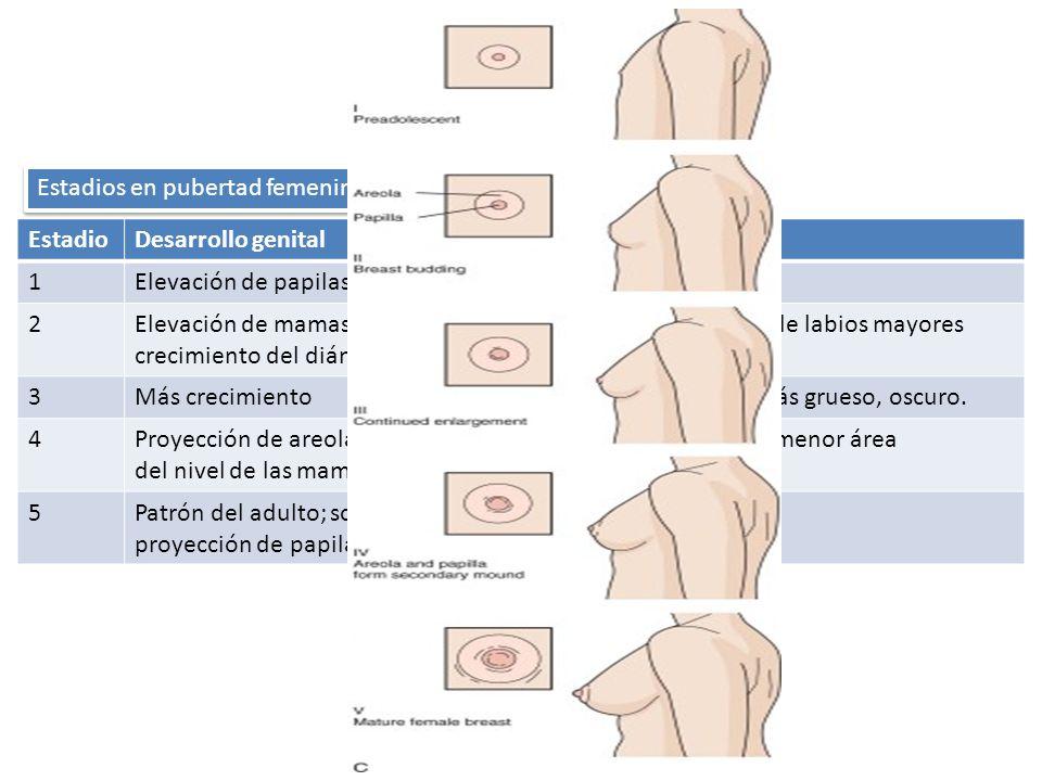 EstadioDesarrollo genitalVello púbico 1Elevación de papilasNo presente 2Elevación de mamas y papilas, crecimiento del diámetro areolar Escaso a lo largo de labios mayores 3Más crecimientoSobre el pubis; más grueso, oscuro.