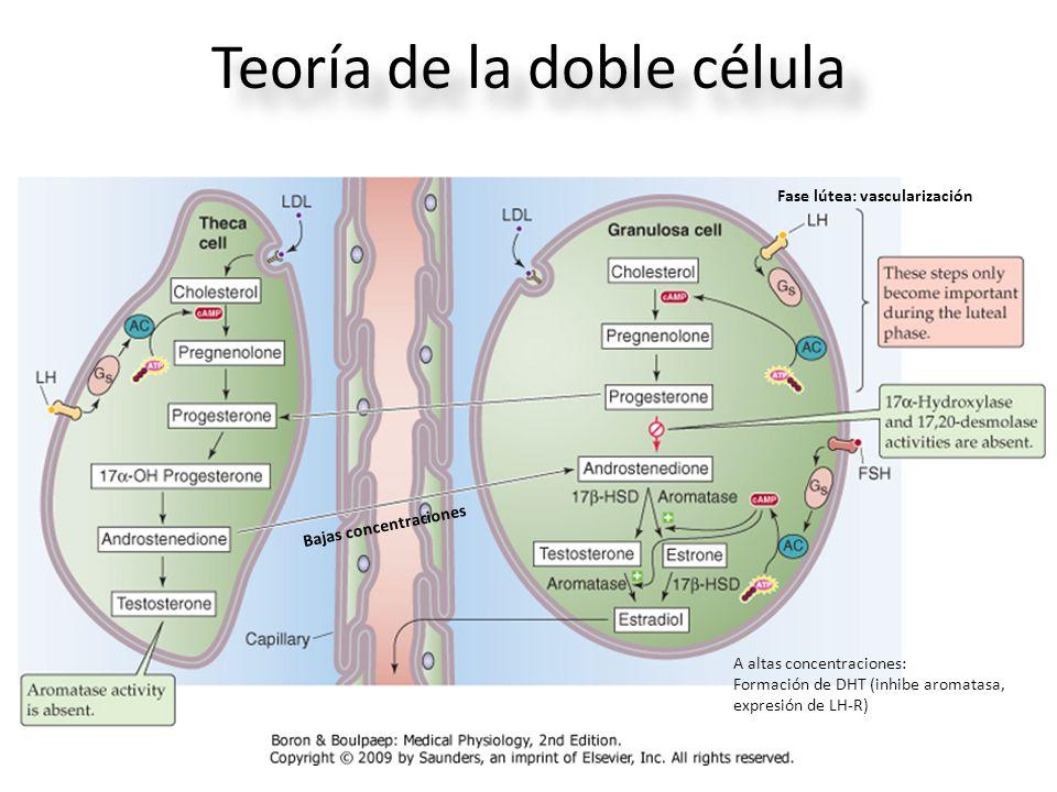 Teoría de la doble célula Bajas concentraciones A altas concentraciones: Formación de DHT (inhibe aromatasa, expresión de LH-R) Fase lútea: vascularización
