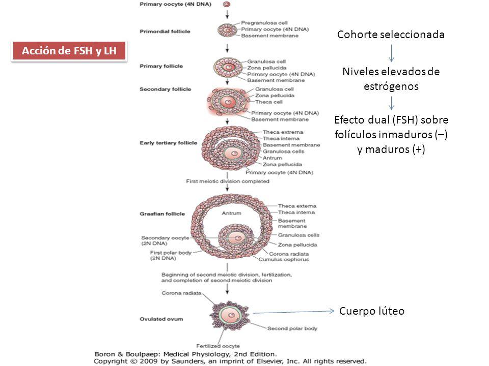 Acción de FSH y LH Cohorte seleccionada Niveles elevados de estrógenos Efecto dual (FSH) sobre folículos inmaduros (–) y maduros (+) Cuerpo lúteo