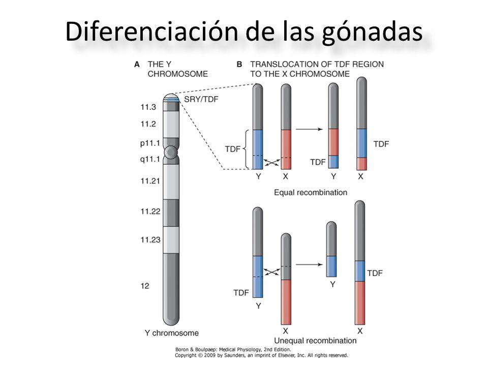 Diferenciación de las gónadas