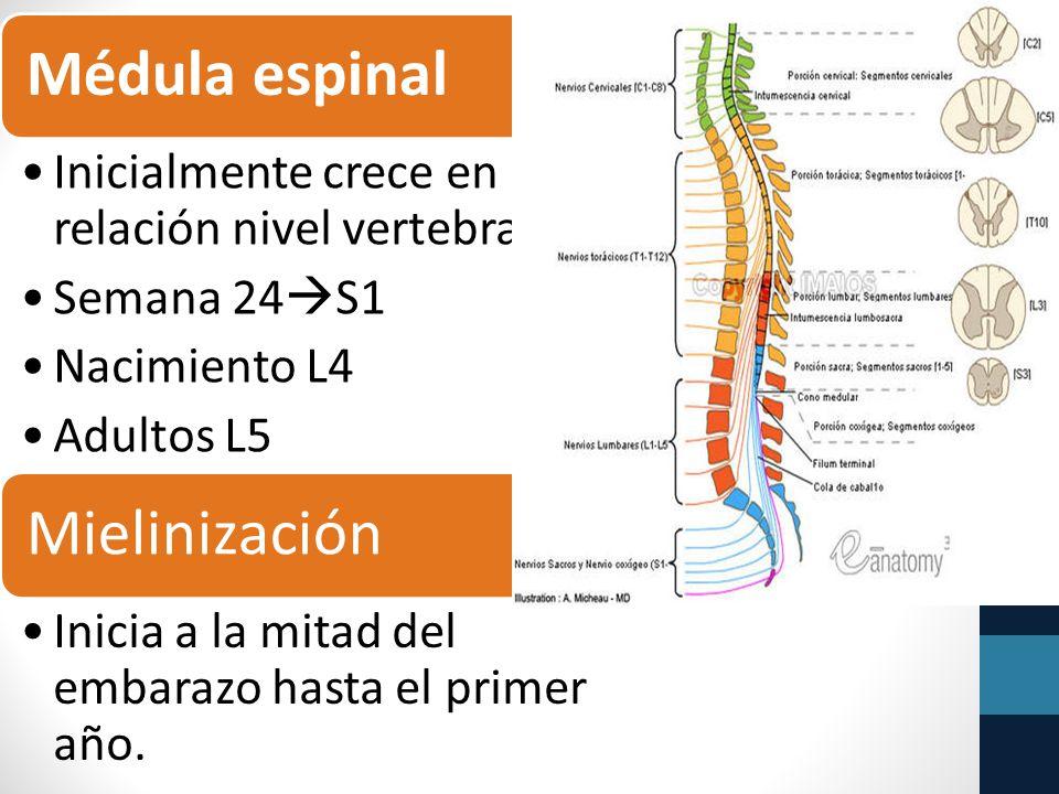 Médula espinal Inicialmente crece en relación nivel vertebral.