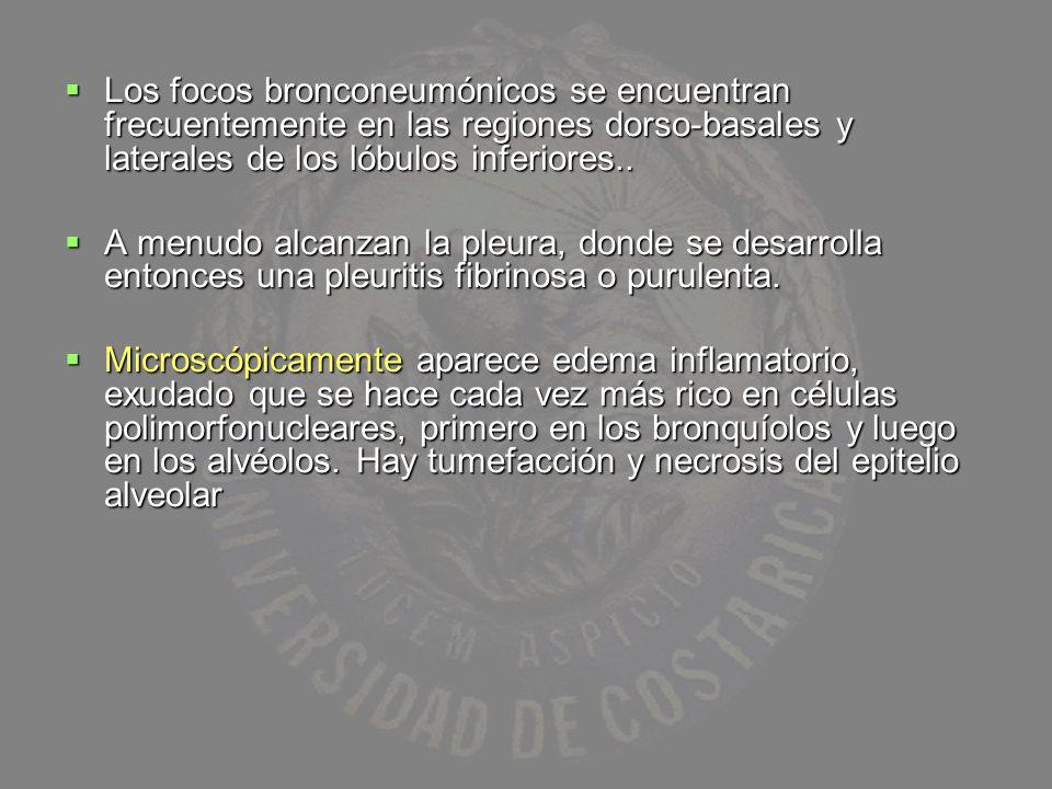 Los focos bronconeumónicos se encuentran frecuentemente en las regiones dorso-basales y laterales de los lóbulos inferiores.. Los focos bronconeumónic