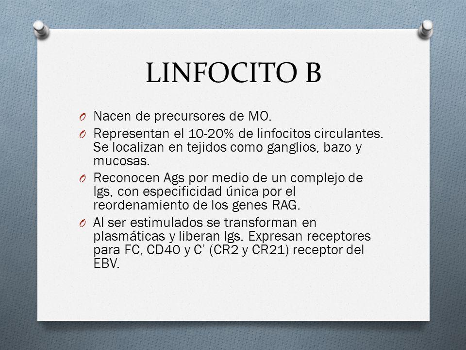 LINFOCITO B O Nacen de precursores de MO. O Representan el 10-20% de linfocitos circulantes. Se localizan en tejidos como ganglios, bazo y mucosas. O
