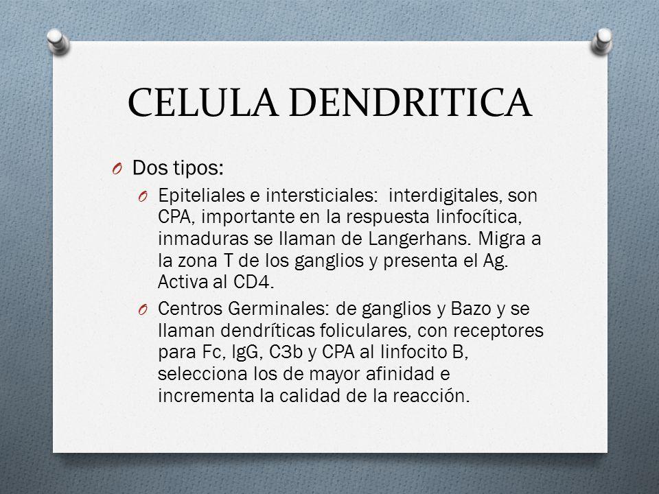 CELULA DENDRITICA O Dos tipos: O Epiteliales e intersticiales: interdigitales, son CPA, importante en la respuesta linfocítica, inmaduras se llaman de