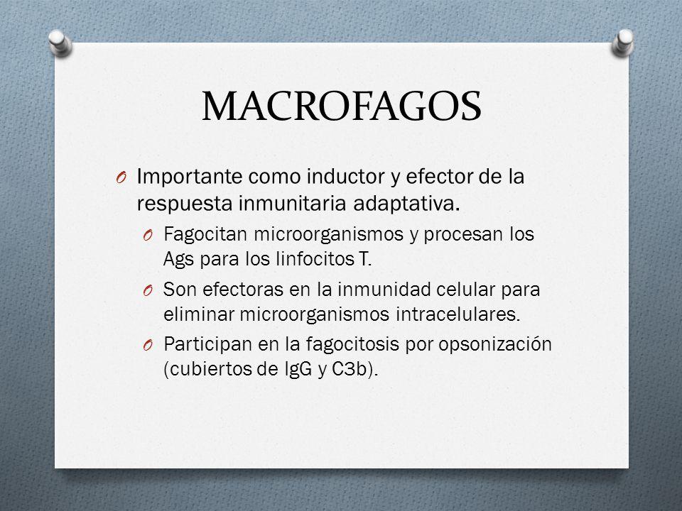 MACROFAGOS O Importante como inductor y efector de la respuesta inmunitaria adaptativa. O Fagocitan microorganismos y procesan los Ags para los linfoc
