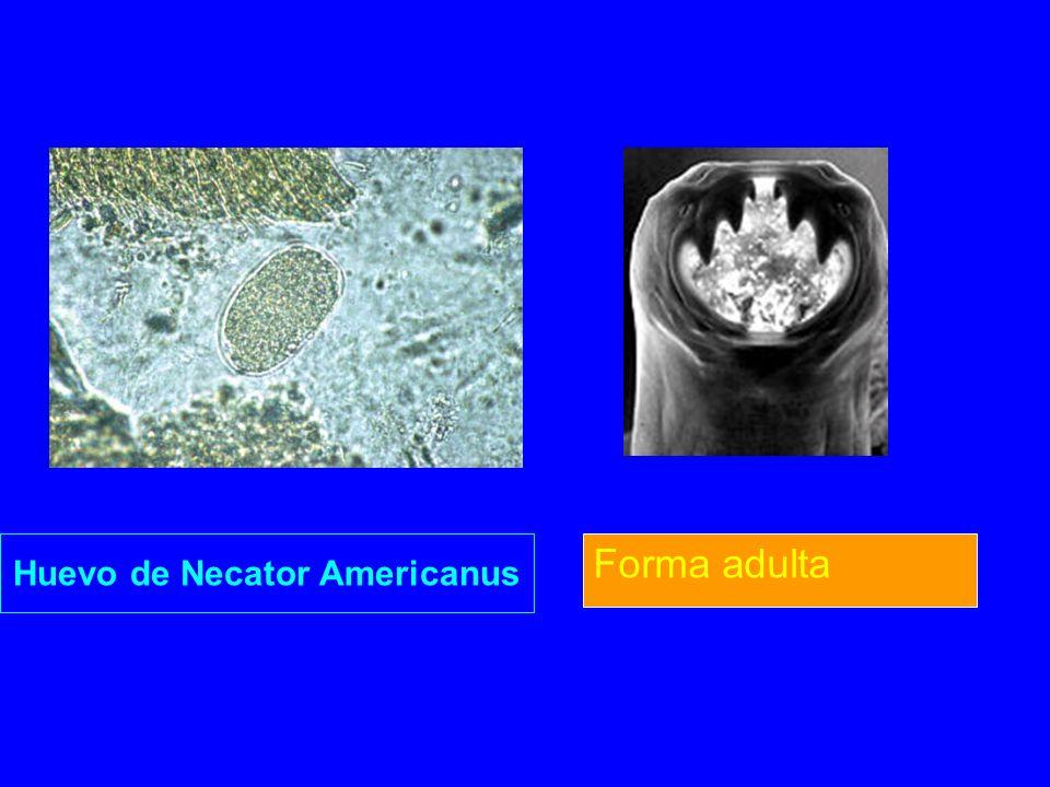 Huevo de Necator Americanus Forma adulta