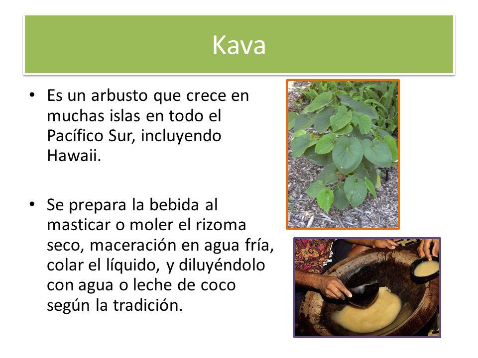 Kava Es un arbusto que crece en muchas islas en todo el Pacífico Sur, incluyendo Hawaii. Se prepara la bebida al masticar o moler el rizoma seco, mace