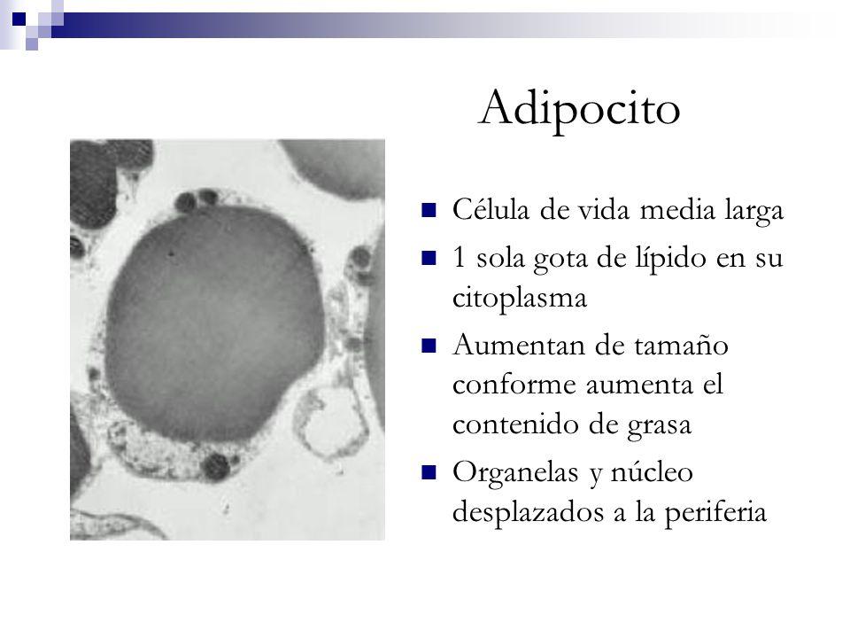 Adipocito Célula de vida media larga 1 sola gota de lípido en su citoplasma Aumentan de tamaño conforme aumenta el contenido de grasa Organelas y núcl