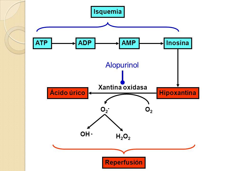 ATPADPAMPInosina HipoxantinaÁcido úrico Reperfusión Xantina oxidasa O2O2 O2-O2- OH٠ H2O2H2O2 Isquemia Alopurinol