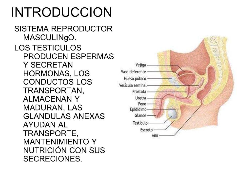 INTRODUCCION SISTEMA REPRODUCTOR MASCULINgO. LOS TESTICULOS PRODUCEN ESPERMAS Y SECRETAN HORMONAS, LOS CONDUCTOS LOS TRANSPORTAN, ALMACENAN Y MADURAN,