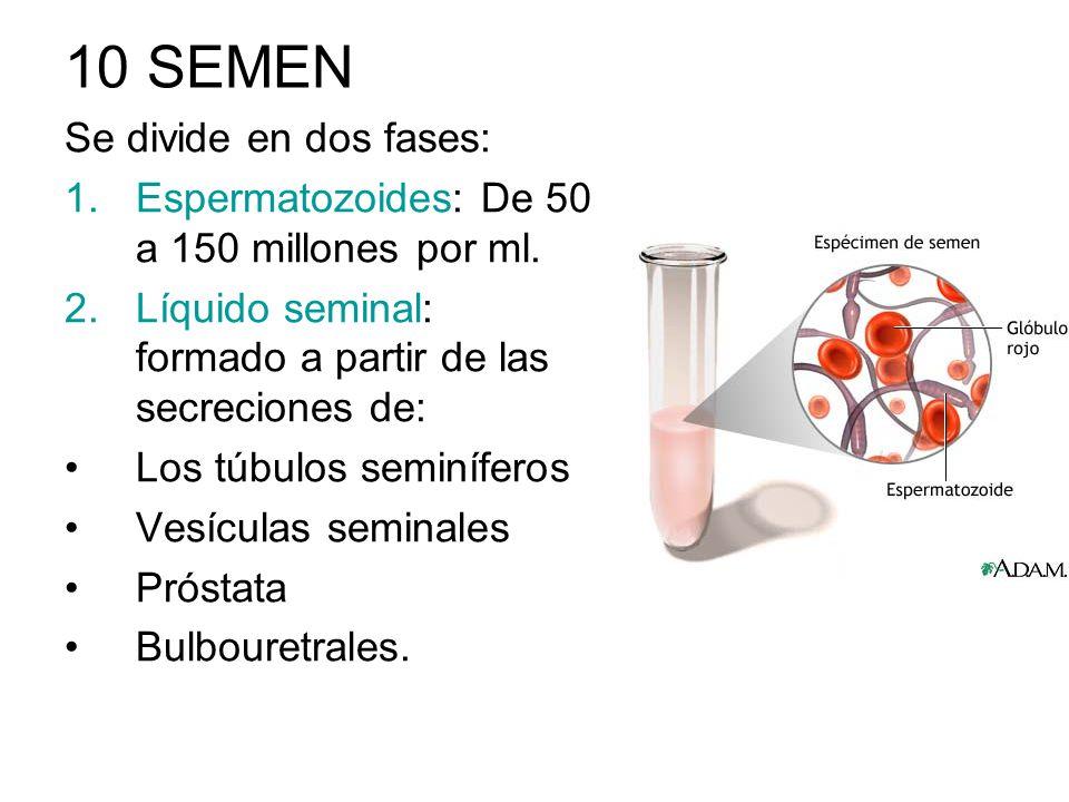 10 SEMEN Se divide en dos fases: 1.Espermatozoides: De 50 a 150 millones por ml. 2.Líquido seminal: formado a partir de las secreciones de: Los túbulo