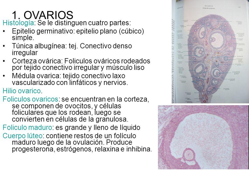 Histología: Se le distinguen cuatro partes: Epitelio germinativo: epitelio plano (cúbico) simple. Túnica albugínea: tej. Conectivo denso irregular Cor