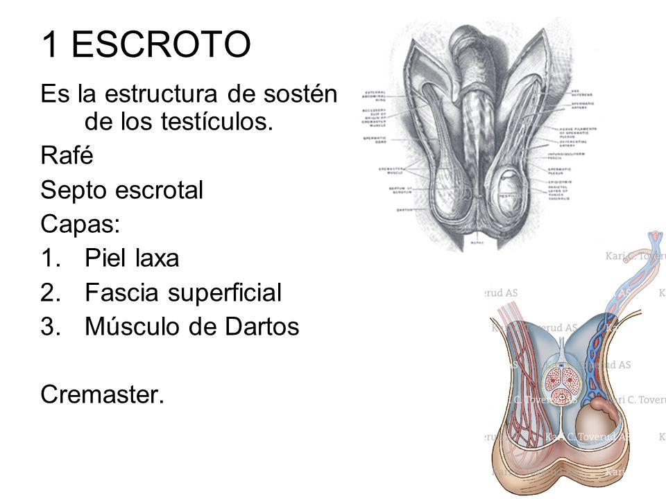 1 ESCROTO Es la estructura de sostén de los testículos. Rafé Septo escrotal Capas: 1.Piel laxa 2.Fascia superficial 3.Músculo de Dartos Cremaster.