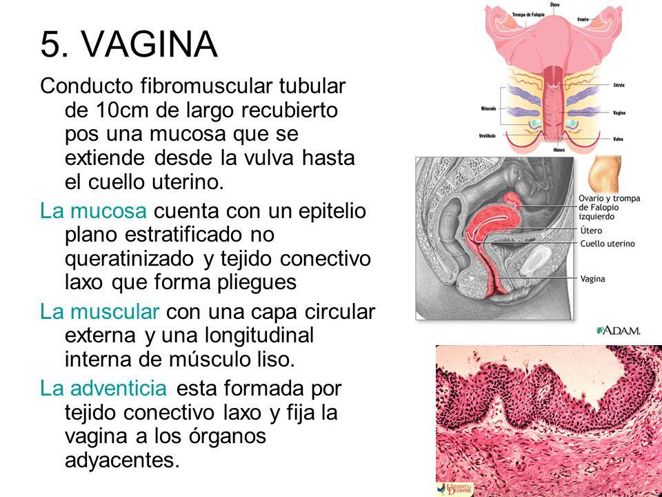 5. VAGINA Conducto fibromuscular tubular de 10cm de largo recubierto pos una mucosa que se extiende desde la vulva hasta el cuello uterino. La mucosa