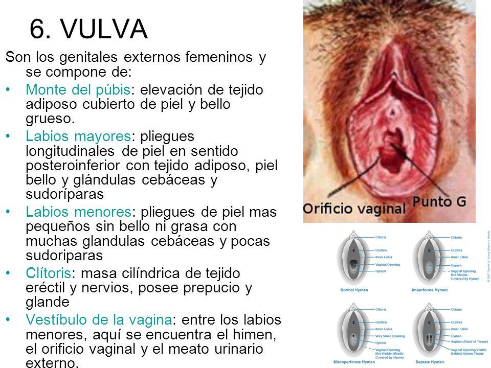 6. VULVA Son los genitales externos femeninos y se compone de: Monte del púbis: elevación de tejido adiposo cubierto de piel y bello grueso. Labios ma