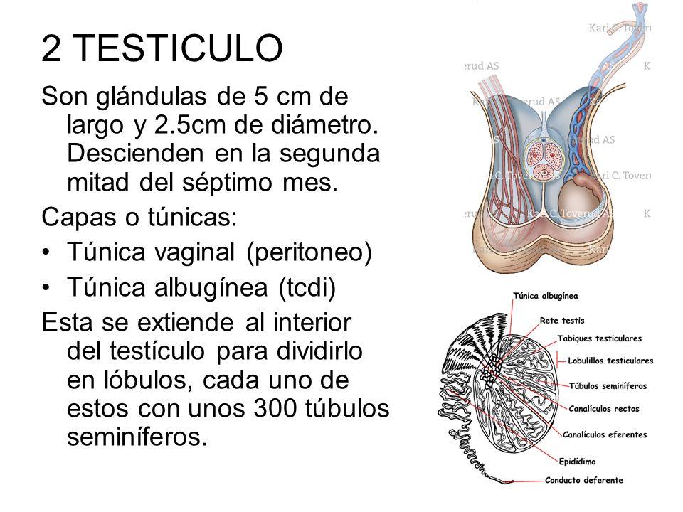 2 TESTICULO Son glándulas de 5 cm de largo y 2.5cm de diámetro. Descienden en la segunda mitad del séptimo mes. Capas o túnicas: Túnica vaginal (perit
