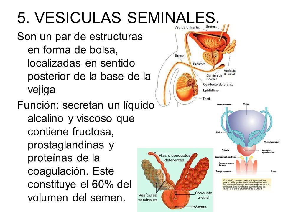 5. VESICULAS SEMINALES. Son un par de estructuras en forma de bolsa, localizadas en sentido posterior de la base de la vejiga Función: secretan un líq