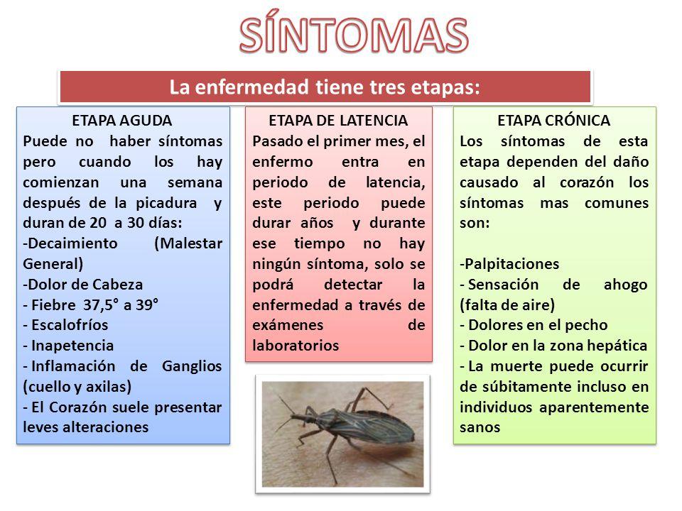 La enfermedad tiene tres etapas: ETAPA AGUDA Puede no haber síntomas pero cuando los hay comienzan una semana después de la picadura y duran de 20 a 3