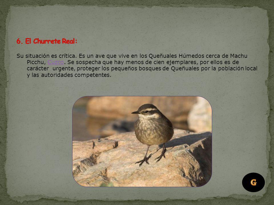 El Huapo colorado habita sólo en la Llanura Amazónica del Perú, al norte del Río Amazonas. Está seriamente amenazado en toda su extensión por la cacer
