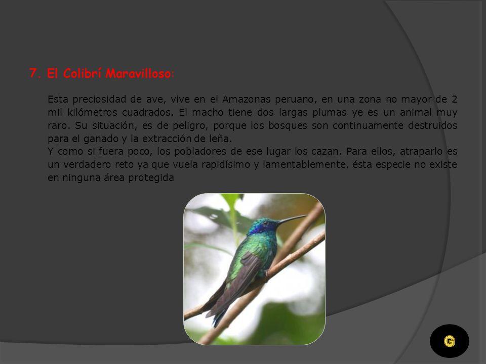 Su situación es crítica. Es un ave que vive en los Queñuales Húmedos cerca de Machu Picchu, Cuzco. Se sospecha que hay menos de cien ejemplares, por e